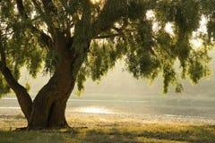 White willow Royalty Free Stock Photo