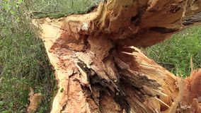 White willow Salix alba attacked by wood-destroying insects, tree trunk very attacked woodworm by larvae, tree fell into. White willow Salix alba attacked by stock video footage