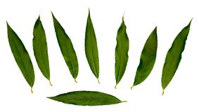 White willow or white Willow. Individual leaves Isolated on white background. Design kit stock image