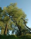 White willows Stock Photo