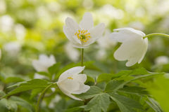 White windflower Stock Image