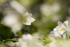 White windflower Royalty Free Stock Photography