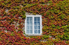 White window covered by creeper ivy Stock Photography
