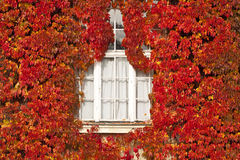 White window and facade covered by red leaves Stock Image