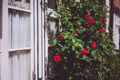 White window frames with red rose bushes. Warm sunlight and summer flowers Royalty Free Stock Image