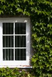 White window with green creeping ivy leaves in sunlight Royalty Free Stock Images