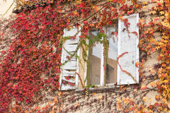 White window inside vine-covered wall, red leaves Stock Photos