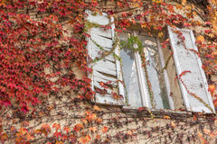 White window inside a vine-covered wall, red vegetation Stock Images