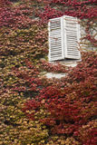 White window and red ivy Stock Photo