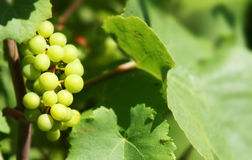 White wine grape. In France royalty free stock image