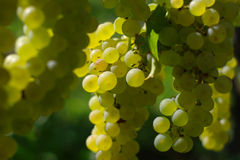 White wine grape Stock Photo