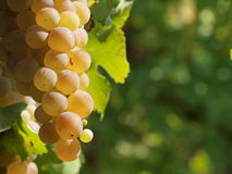 White wine grape detail. Beautiful bunch grape's detail in the sun Royalty Free Stock Images