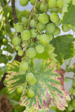 White wine grape disease Stock Images