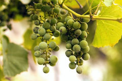 White wine grape hanging Stock Images