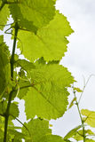 White Wine Grape Leaves Royalty Free Stock Image