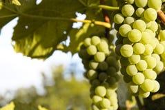 White wine grapes Royalty Free Stock Photos
