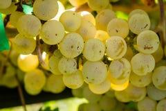 White Wine Grapes Royalty Free Stock Photo