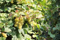 White wine grapes along the river Moselle (Mosel). Royalty Free Stock Photo