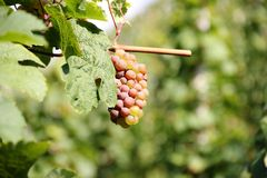 White wine grapes along the river Moselle (Mosel). Royalty Free Stock Photos