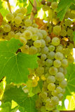 White Wine Grapes Royalty Free Stock Images