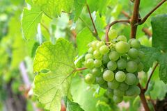 White wine Grapes in Durnstein vineyard, Austria. Green mellow and ripe white wine Grapes in Durnstein vineyard, Wachau Valley, Austria stock images