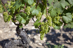White wine grapes in a French vineyard Stock Photos