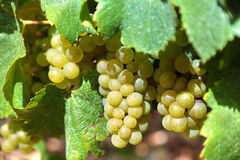 White wine grapes growing in a vineyard, France Royalty Free Stock Photos