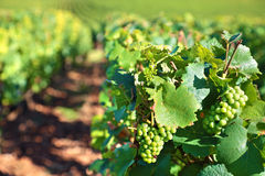 White wine grapes growing in a vineyard, France Royalty Free Stock Images