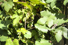 White wine grapes hanging from a vine Stock Photography