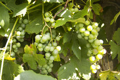 White wine grapes hanging from a vine Stock Image