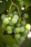 White wine grapes hanging from a vine Royalty Free Stock Images
