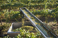 White wine grapes harvested, California Stock Photo