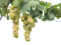 White wine grapes over white background. Royalty Free Stock Photos