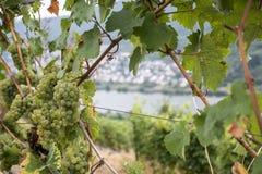 White Wine grapes Region Moselle Winningen 15. White Wine grapes in the german Region Moselle River Winningen 15 Royalty Free Stock Photography
