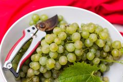 White wine grapes riesling, ready to harvest and making wine Stock Photography