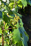 White wine grapes, ripe on the vine Stock Photo