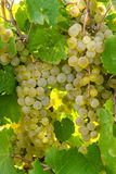 White Wine Grapes Stock Image