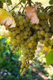 White wine grapes. In summertime Royalty Free Stock Images