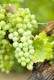 White Wine Grapes on the vine Royalty Free Stock Image