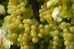 White Wine Grapes on Vine Royalty Free Stock Photo
