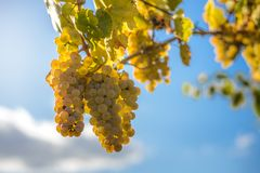 White grapes in the vineyard Royalty Free Stock Photos