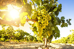 White wine grapes in vineyard Stock Photo
