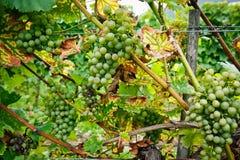 White Wine Ripes Stock Images
