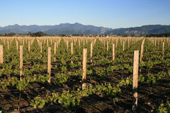 White wine Vineyard Royalty Free Stock Photography