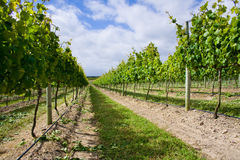 White wine vineyard. A neat, tidy and well kept white wine grape vineyard from South Africa Royalty Free Stock Photos