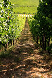 White wine vineyard in Alsace. Reisling vineyard in Alsace, France Royalty Free Stock Photos