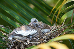 White wing dove chicks Royalty Free Stock Image