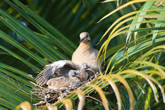 White wing dove nest Royalty Free Stock Photos