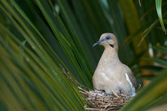 White wing dove Royalty Free Stock Photography