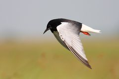 White winged black tern Royalty Free Stock Photos